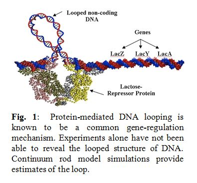 Protein-mediated DNA looping