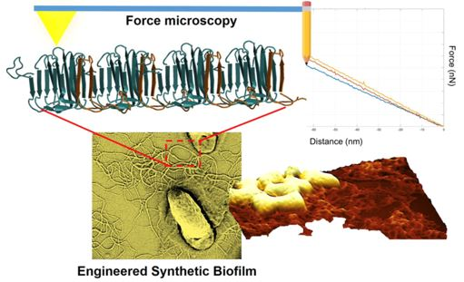 Schematic illustration of AFM-based imaging and spectroscopy experiments on engineered synthetic biofilms.